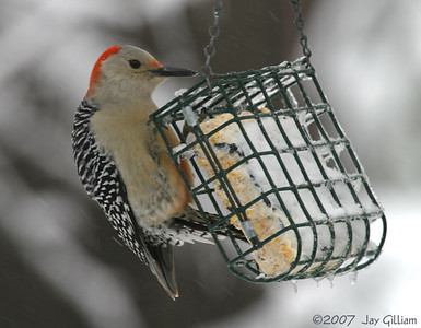 Red-bellied Woodpecker in my backyard