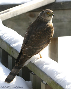 Sharp-shinned Hawk in my backyard