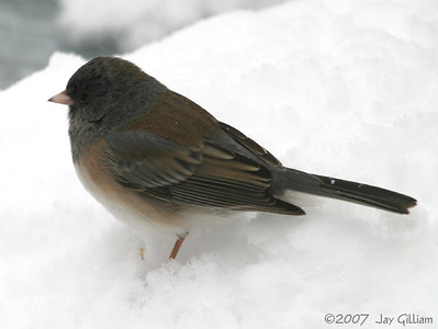 Oregon Junco in my backyard