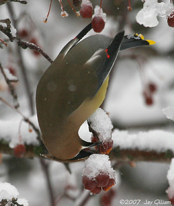 Cedar Waxwing looking for food in a snowstorm at Waterworks Park