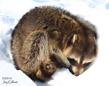 Raccoon sleeping in a snowbank on the side of the road in rural Franklin Co.  02-27-10
