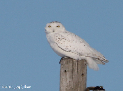 I had left and was about a mile away when I looked back and saw the Snowy Owl on a telephone pole.  I quickly returned to get more photos.  Snowy Owl in rural Franklin Co.  02-27-10