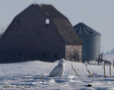 But then it got active and started flying around and hunting.  Kind of a neat shot with the old barn in the background.  Snowy Owl in rural Franklin Co.  02-27-10