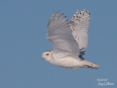 Snowy Owl in rural Franklin Co.  02-27-10