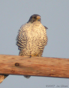 Gyrfalcon in Boone Co.