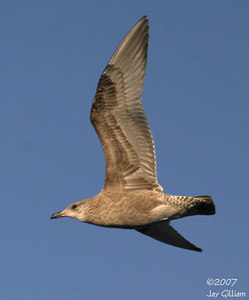 Immature Herring Gull at Saylorville Lake