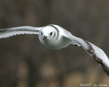 Immature Black-legged Kittiwake at Saylorville Lake