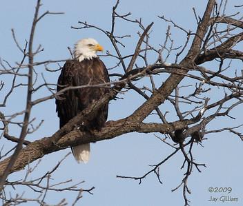 Adult Bald Eagle at L&D 19 in Keokuk, Lee Co.  01-31-09