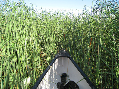 Steve Dinsmore, Keith Dyche, and I went out into Forney Lake to try to document nesting ibis.  The cattails were thick!  07-12-08