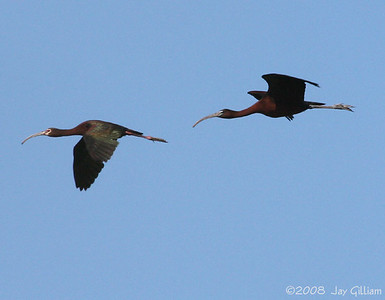 Adult White-faced and adult Glossy Ibis.