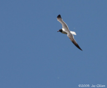 Laughing Gull upperwing pattern.  07-11-08