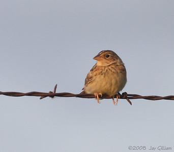 Grasshopper Sparrow in Union Co.  07-12-08