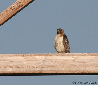 Red-tailed Hawk at Neal Smith NWR, Jasper Co.  07-05-08