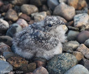 5-6 day old baby Common Nighthawk  07-07-08
