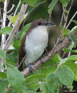 Black-billed Cuckoo at Riverton WA, Fremont Co.  07-12-08