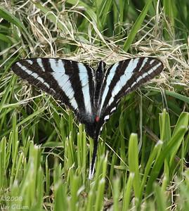 Zebra Swallowtail at Waubonsie SP, Fremont Co.  07-04-08