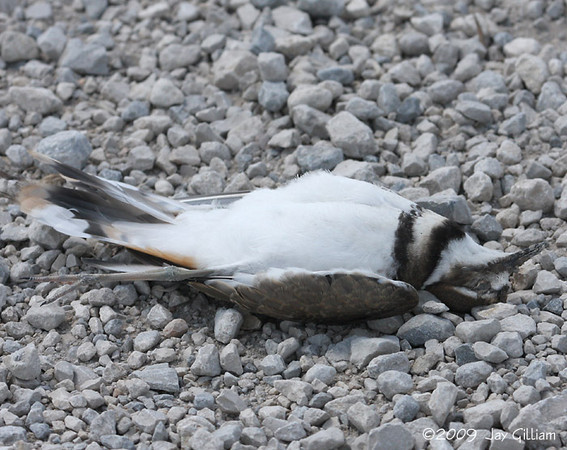 """This Killdeer was not doing a """"playing possum"""" display either."""