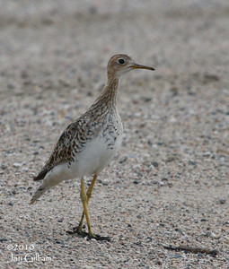 Upland Sandpiper in rural Wright Co.  24 July 2010