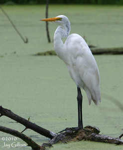 Great Egret near Blue Flag Marsh, Warren Co.  6-12-10
