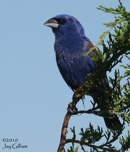 Blue Grosbeak near MidAmerican Energy ponds in Council Bluffs, Pottawattamie Co.  6-6-10