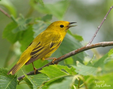 Yellow Warbler at Blue Flag Marsh, Warren Co.  6-12-10