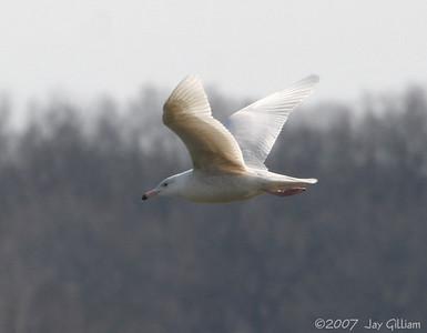 Juvie Glaucous Gull on Mississippi River
