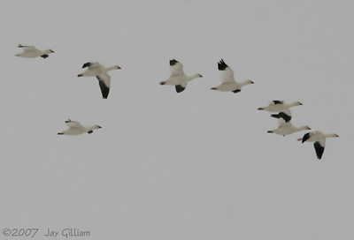 Ross's Geese at Banner wetlands