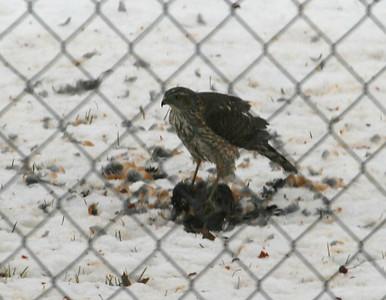 Cooper's Hawk eating an American Robin