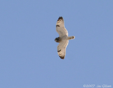 Short-eared Owl at Banner wetland area