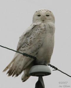 Snowy Owl in Warren Co.