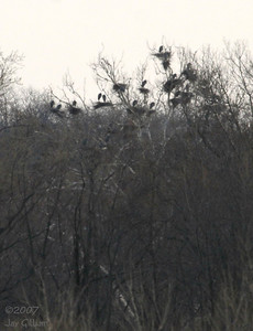 Great Blue Heron rookery at Banner wetlands