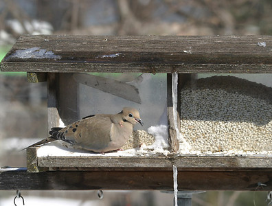 This Mourning Dove doesn't know it is a ground feeder.