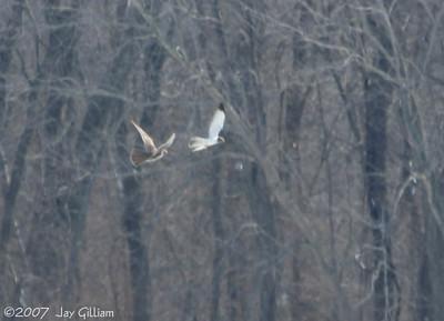 Prairie Falcon vs Northern Harrier