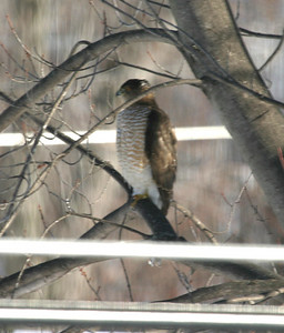 Cooper's Hawk in my backyard