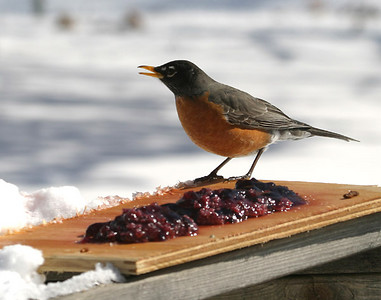 American Robin enjoying some jelly