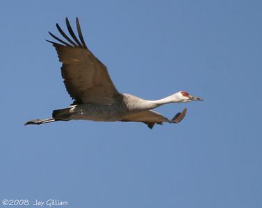 Sandhill Crane  03-09-08