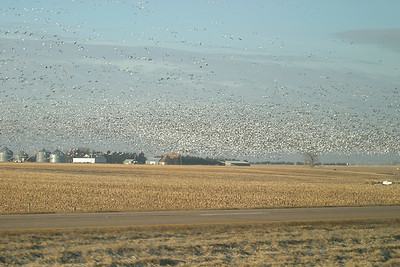 Thousands of Snow Geese on my way to Grand Island, NE  03-09-08