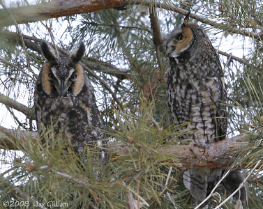 My friend John lives south of Grimes and told me he had five Long-eared Owls in the tree next to his house.  He was right!  03-04-08