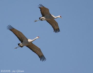 Sandhill Cranes  03-09-08