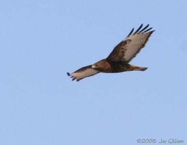 Beautiful Rufous-morph Western Red-tailed Hawk in Harrison Co.  03-08-08