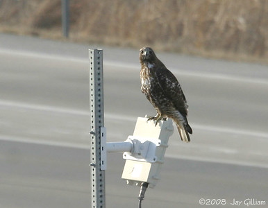Intergrade Western (B.j. calurus) x Harlan's (B.j. harlani) Red-tailed Hawk in Des Moines  03-11-08