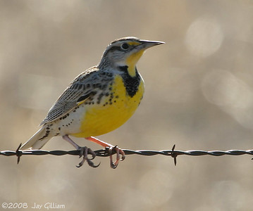 Tired of crane images already?  Here's a Western Meadowlark.