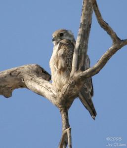 Prairie Falcon at Brenton feedlot, Dallas Co.  03-08-08