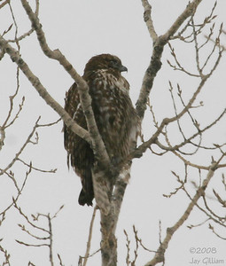 Western Red-tailed Hawk at Brenton feedlot, Dallas Co. 03-04-08