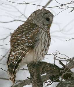 This Barred Owl at Walnut Woods flew in front of me and landed on the edge of a huge cavity then jumped back and just stared at it.  I think the raccoons took it over.  03-05-08