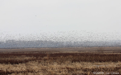 Big group of Snow Geese at Riverton WA, Fremont Co.  03-16-08