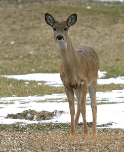 White-tailed Deer at Prairie Rose SP, Shelby Co.  03-08-08