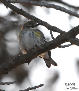 Yellow-rumped Warbler in Clarke Co.  03-01-09