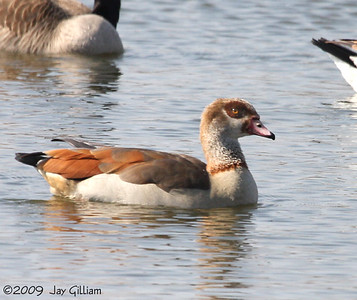 Egyptian Goose at Maskunky Marsh in Mahaska Co.  03-21-09