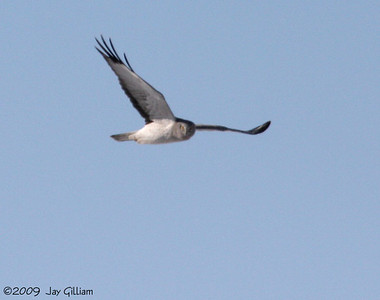 Male Northern Harrier in Clarke Co. 03-01-09